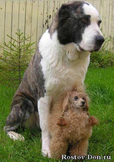 ...предлагает щенков среднеазиатской овчарки (туркменский алабай) рожд.