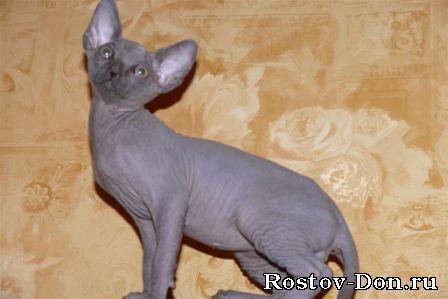 Продаются котята Канадского сфинкса, мальчик - окрас голубой, девочка...